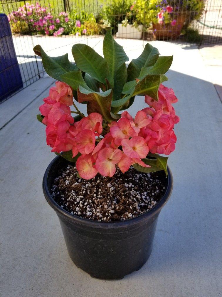 Euphorbia Milii Ying Ruay Bunga