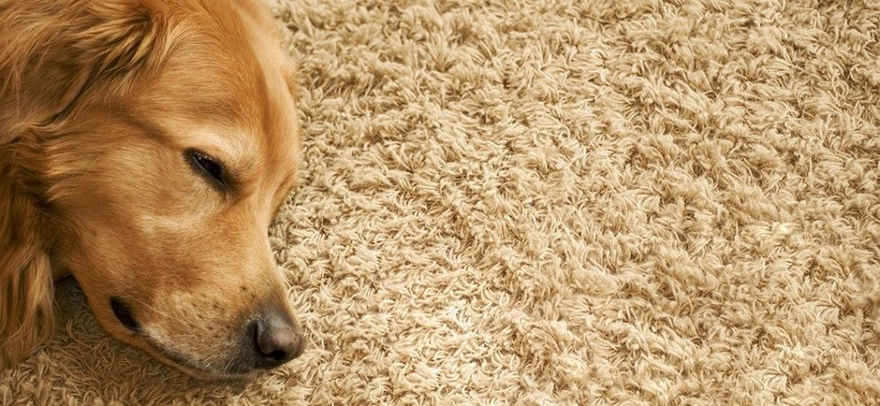 How to Clean Dog Poop Out of Carpet Carpet cleaning