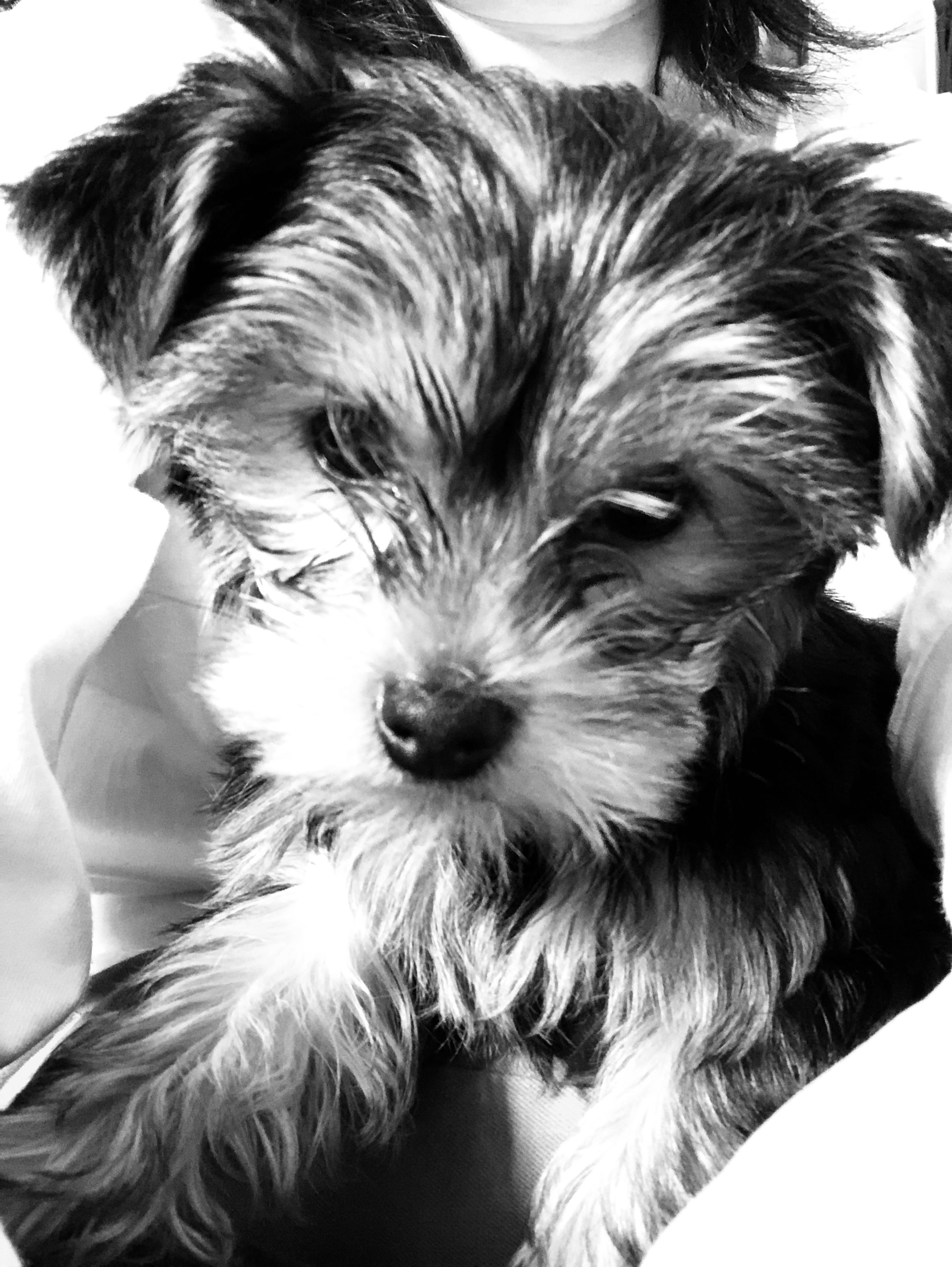 Yorkshire Terrier Yorkshire Terrier Terrier Animals