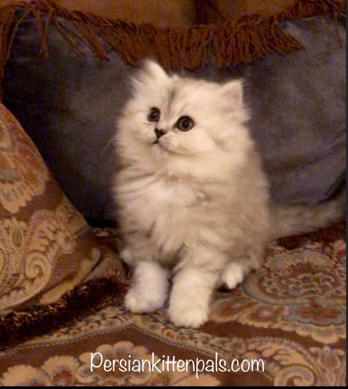 Persiankittenpals Com Little Lokie He Is In Neiman Marcus Ads