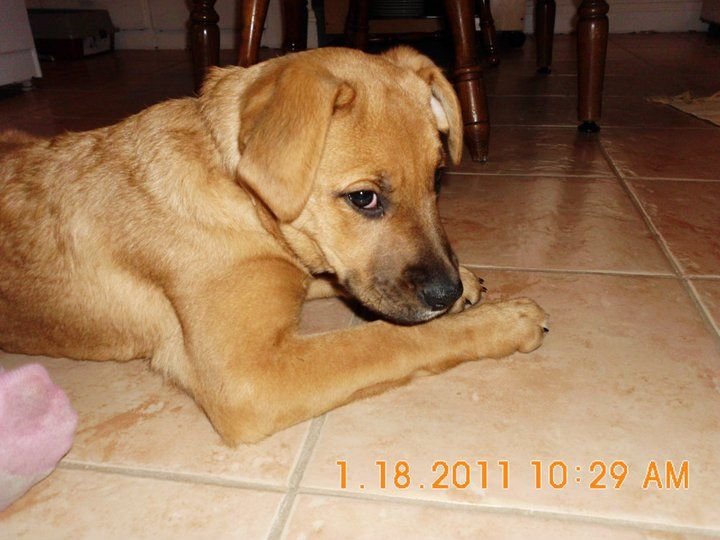 Lucy American Staffordshire Terrier Labrador Retriever Mix