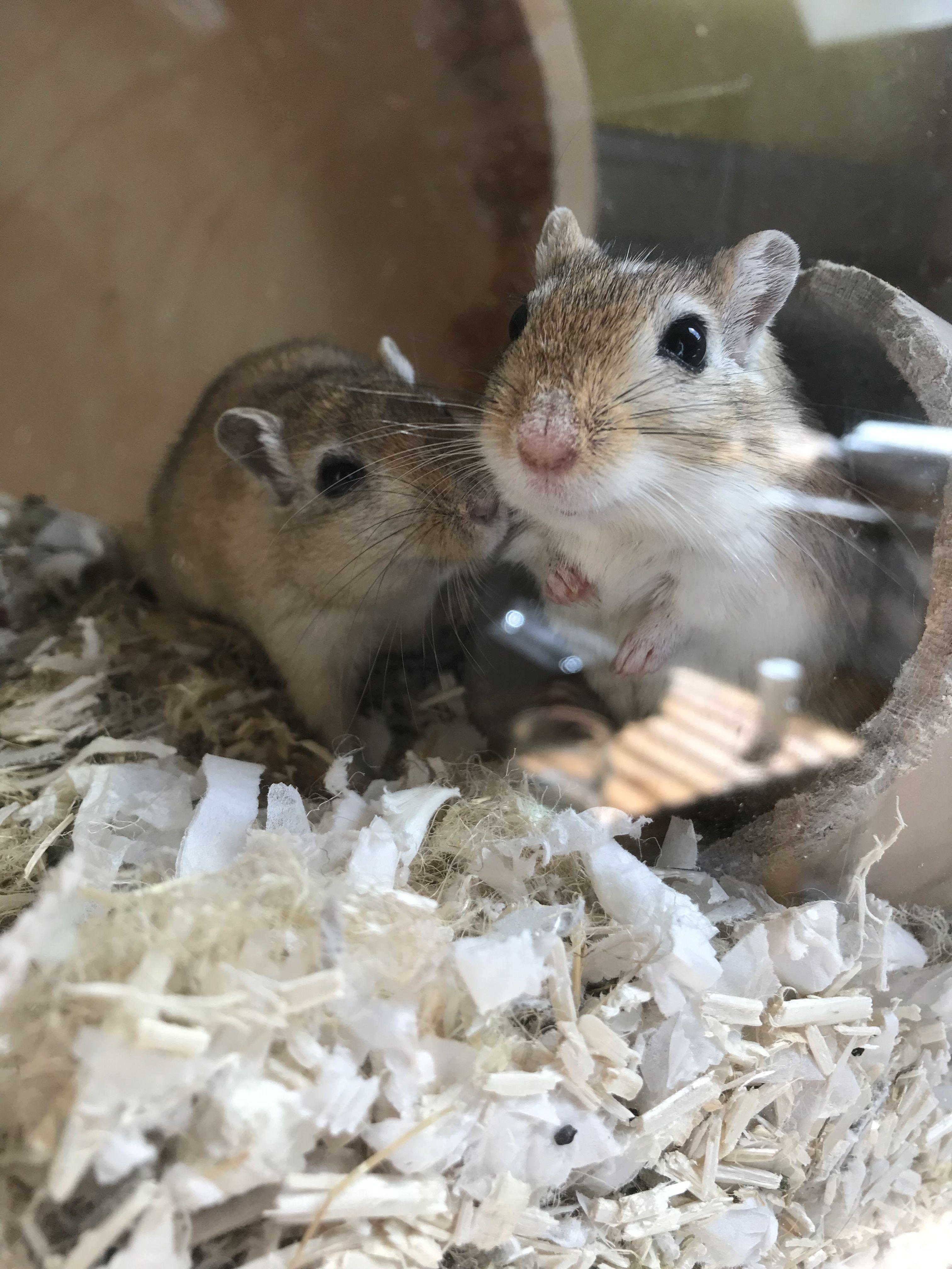 Kaylee Und Kate Rennmaus Rennmause Gerbil Gerbils Gerbil Animals Wild Pets