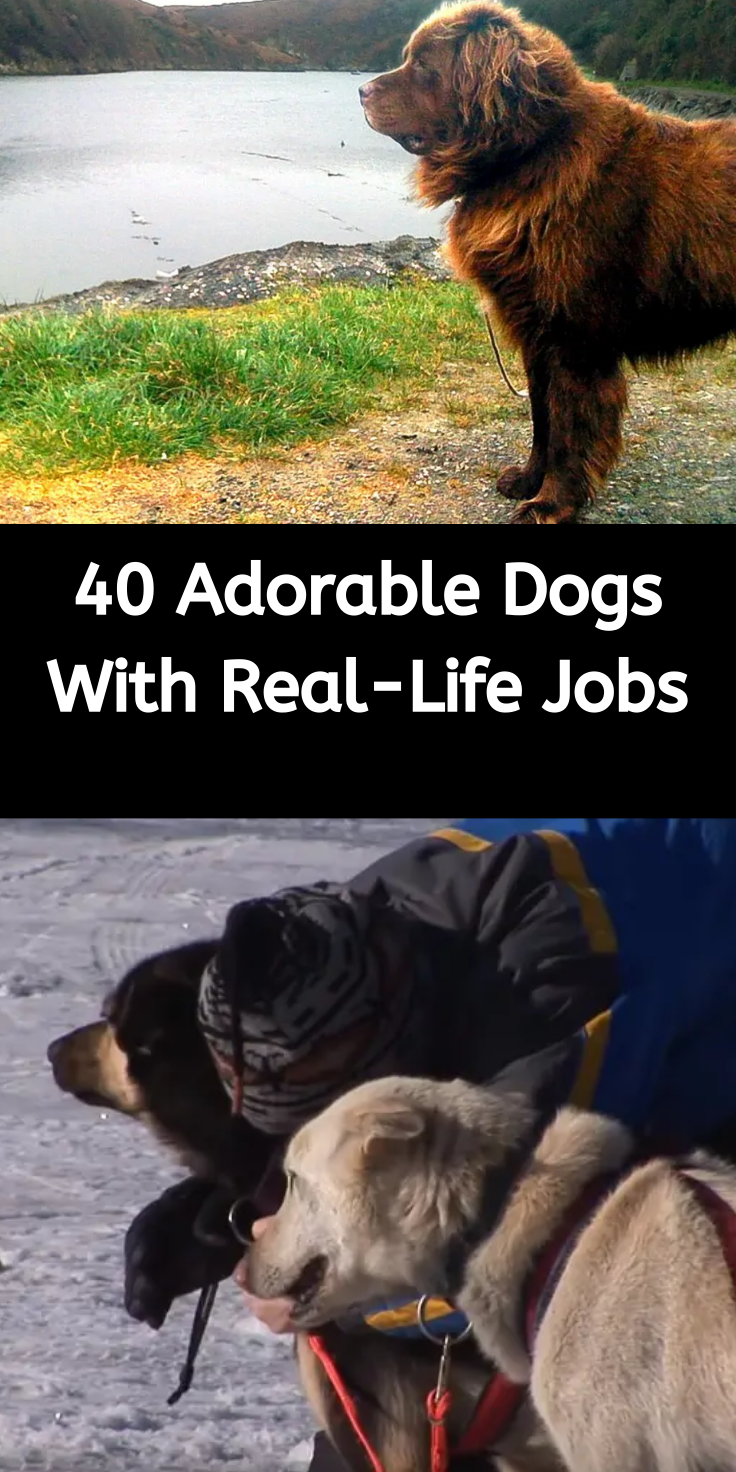 40 Sweet And Dedicated Dogs Who Love Their Real Life Jobs In 2020 Cute Dogs Animals Beautiful Working Dogs