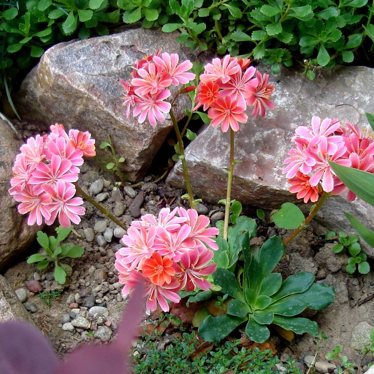 Zielone Centrum Ul Choiny 57 Sklep Ogrodniczy Krzewy Ozdobne Kwiaty Balkonowe Byliny Nasiona Srodki Ochr Beautiful Flowers Rock Flowers Rock Plants