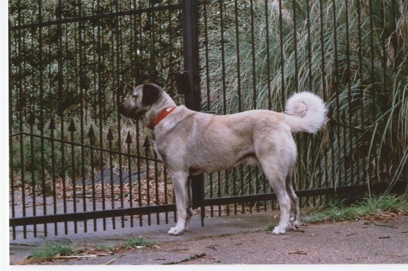 Turkish Kangal With Images Kangal Dog Beautiful Dogs