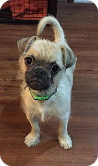 Troy Mi Pug Brussels Griffon Mix Meet Arthur A Puppy For