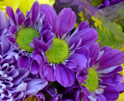 Chrysantemum Blueviolet