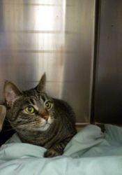 Adopt Pm Maya On Tabby Cat Pet Adoption Tabby