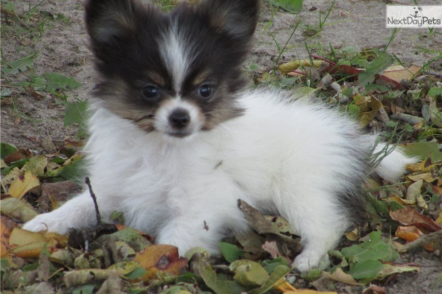 Male Papillon Puppy For Sale Near Delaware And Born On 1 1 2018