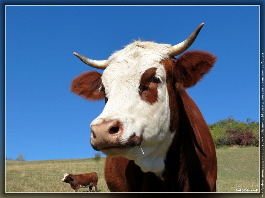 Vache vache 3421 animal stock pinterest vache et photo vache - Vache normande dessin ...