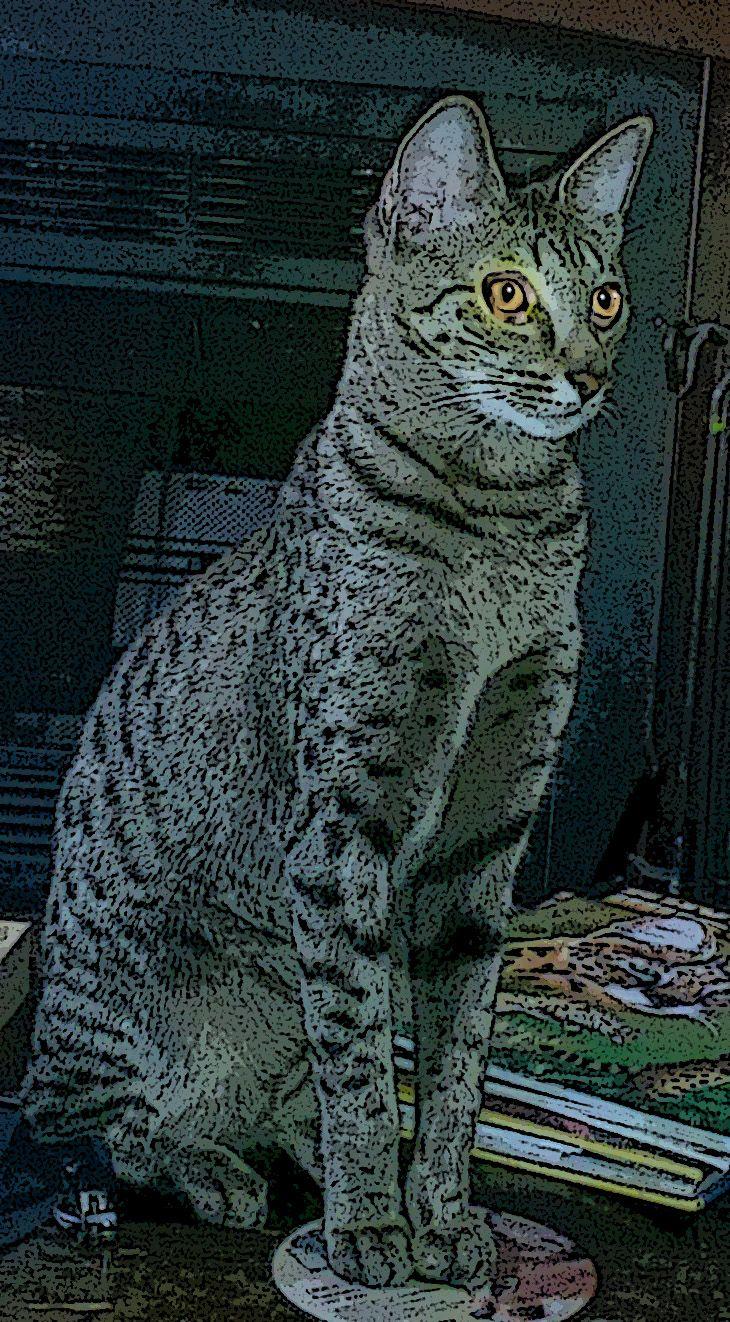 Zuri My F4 Sbt Savannah Cat With Images Savannah Cat Cat