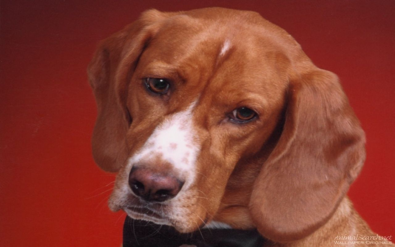 Dogs Wallpaper Hound Dog Looking Cute Hound Dog Dog Wallpaper Dogs