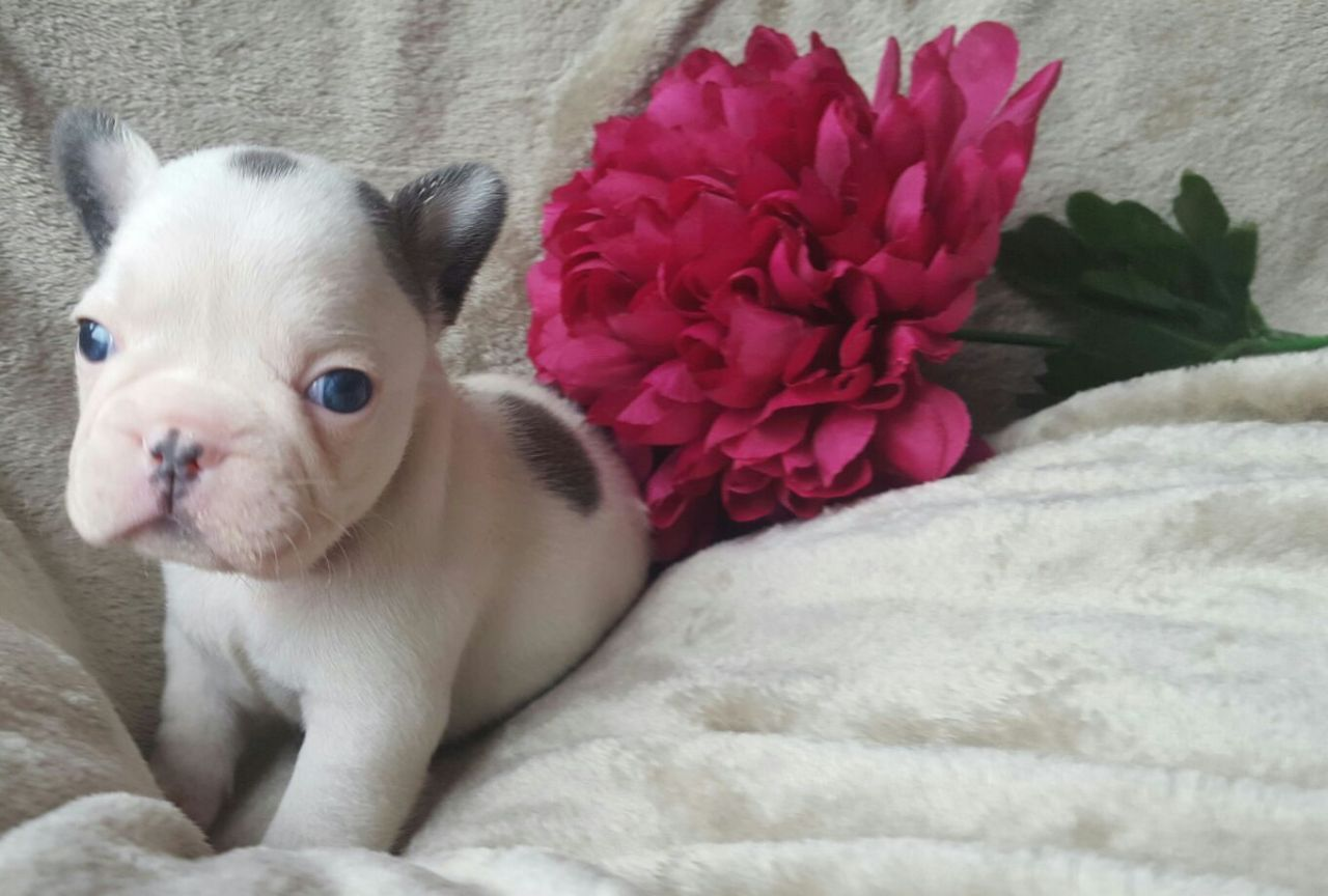 Beautiful Kc Reg French Bulldogs Pups Newcastle Upon Tyne Tyne