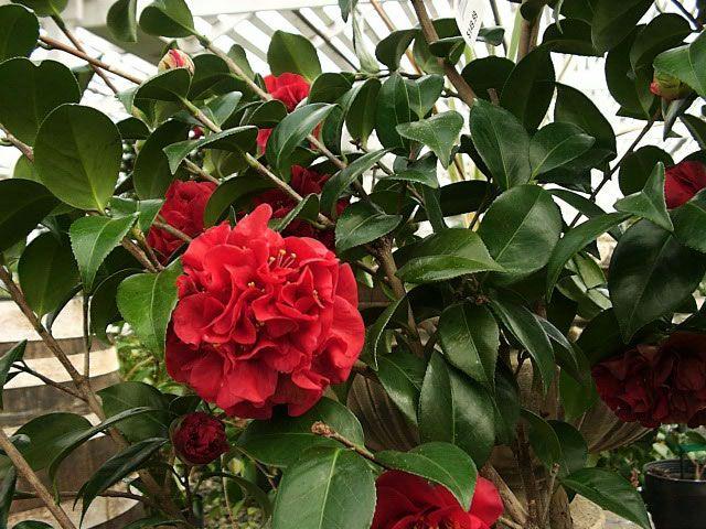 Camellia japonica tom knudsen camellias gardenias - Camelia planta ...