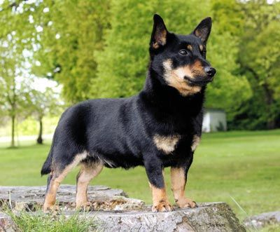 Lancashire Heeler Dog Photo Heelers Dog Kennels Lancashire