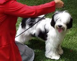 Tibetan Terrier Pelon