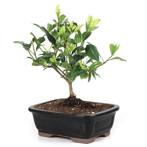 How To Prune An Gardenia Bonsai Google Search With Images