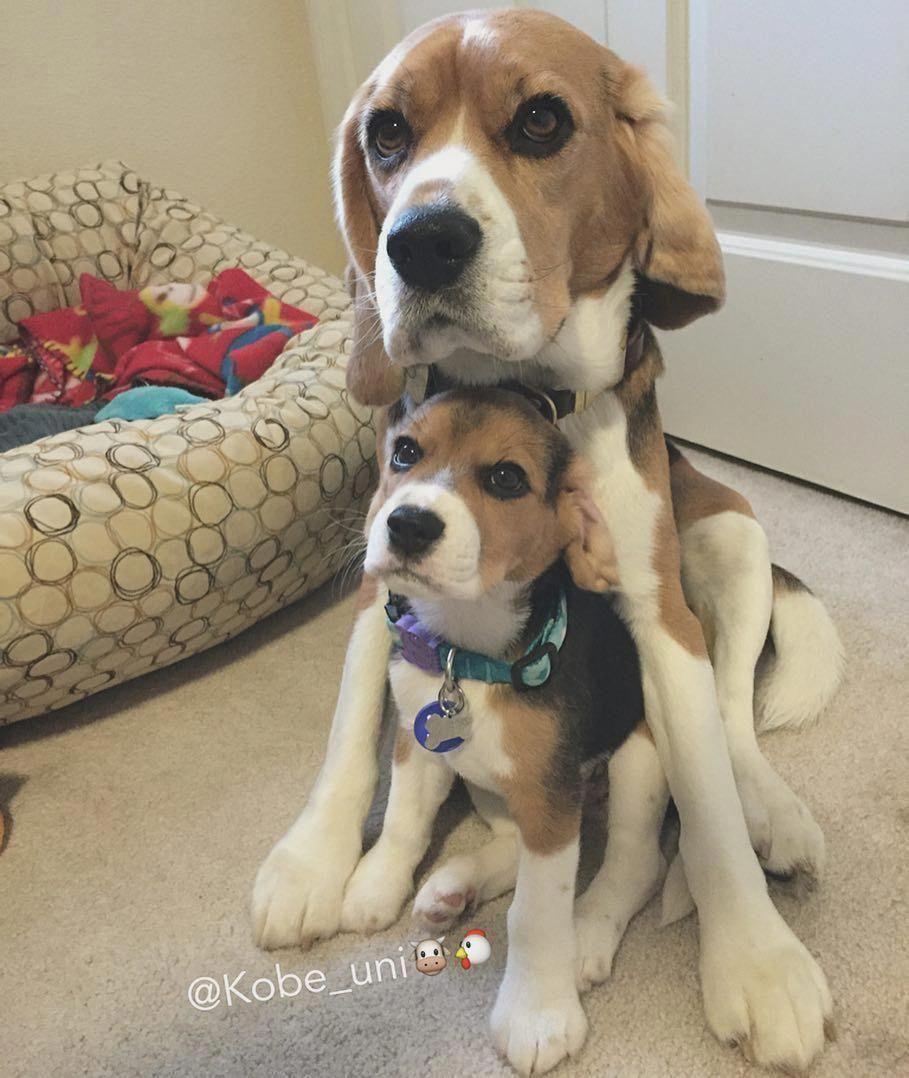 See Our Website For More Details On Beagles It Is Actually An