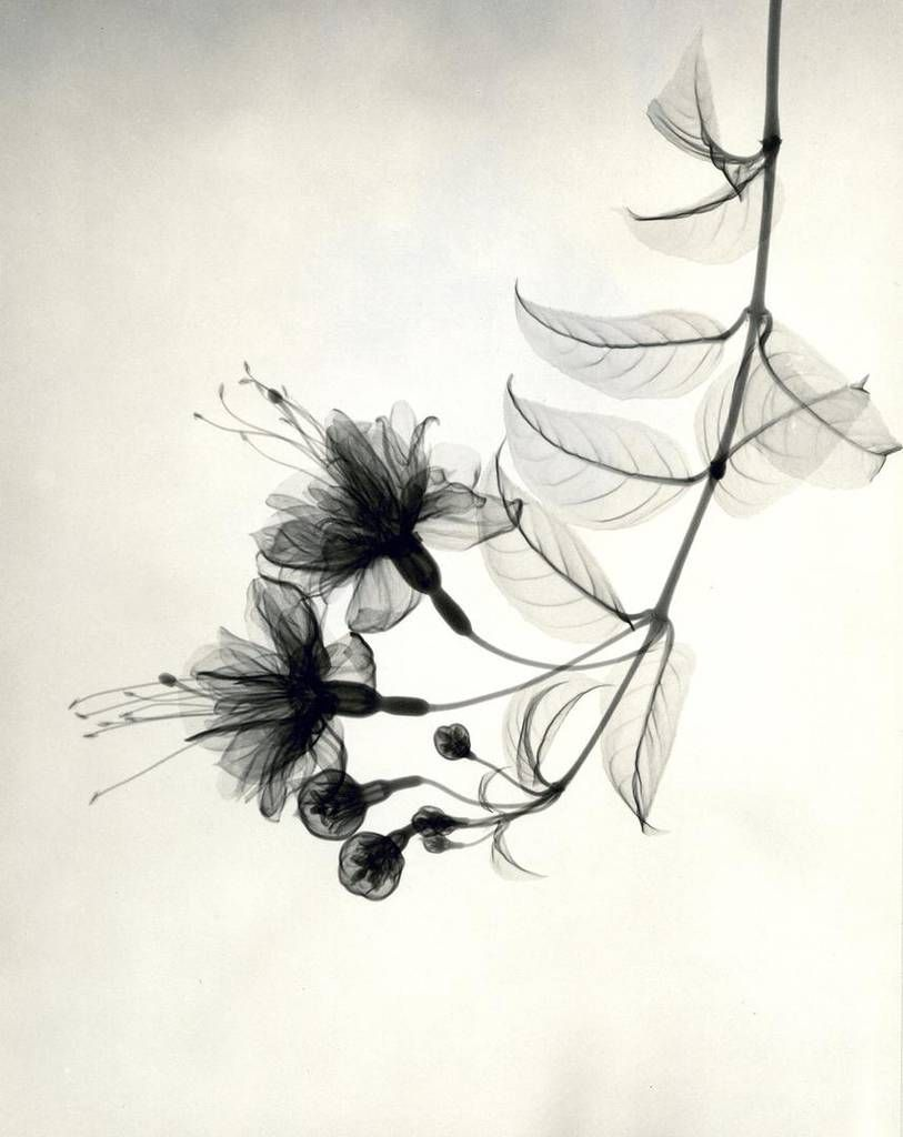 X-Ray Flower Photographs from the 1930s