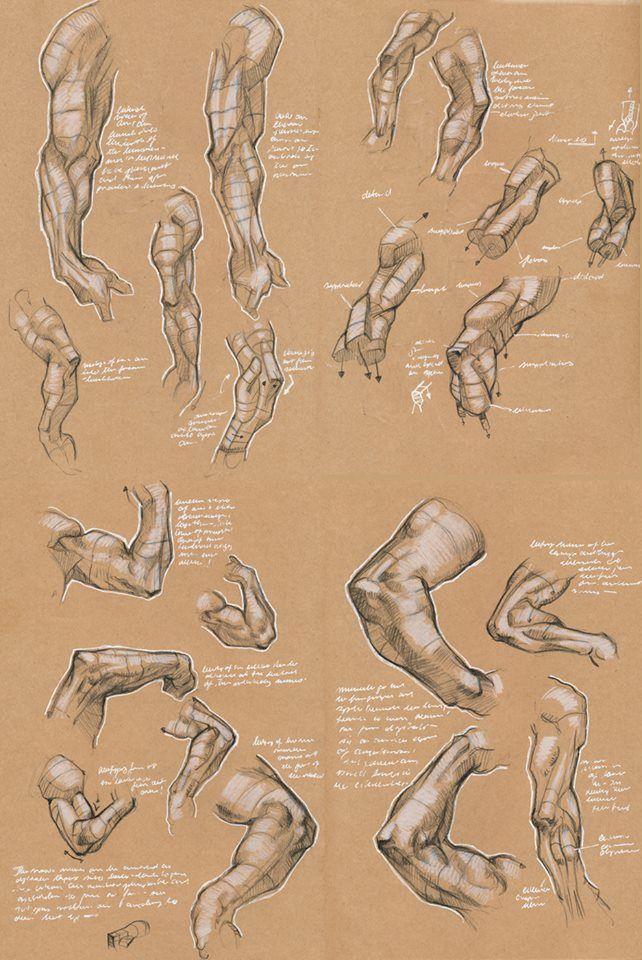 48f1df38aba11024a3c4c1c473f41bb6.jpg (642×960) | Arm Anatomy ...