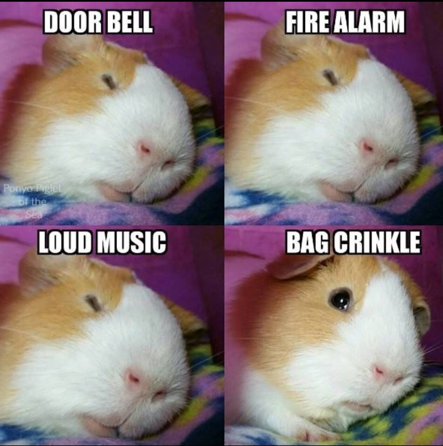 pinjessica k. on guinea pigs! | pinterest | animal, pig stuff
