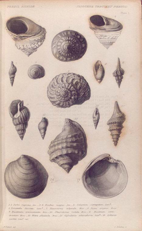 Fossil shells; Pliocene tertiary period. (1830-1833)