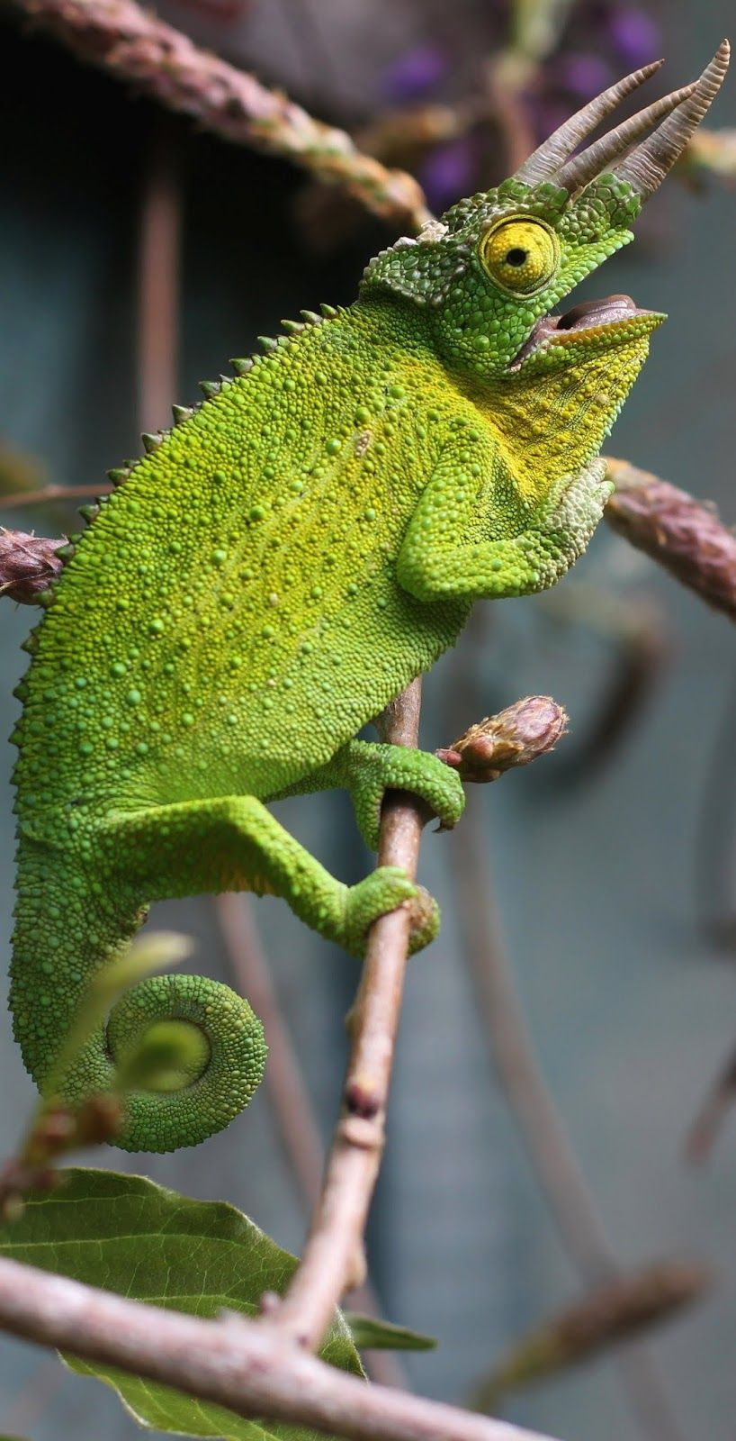 A three horned chameleon