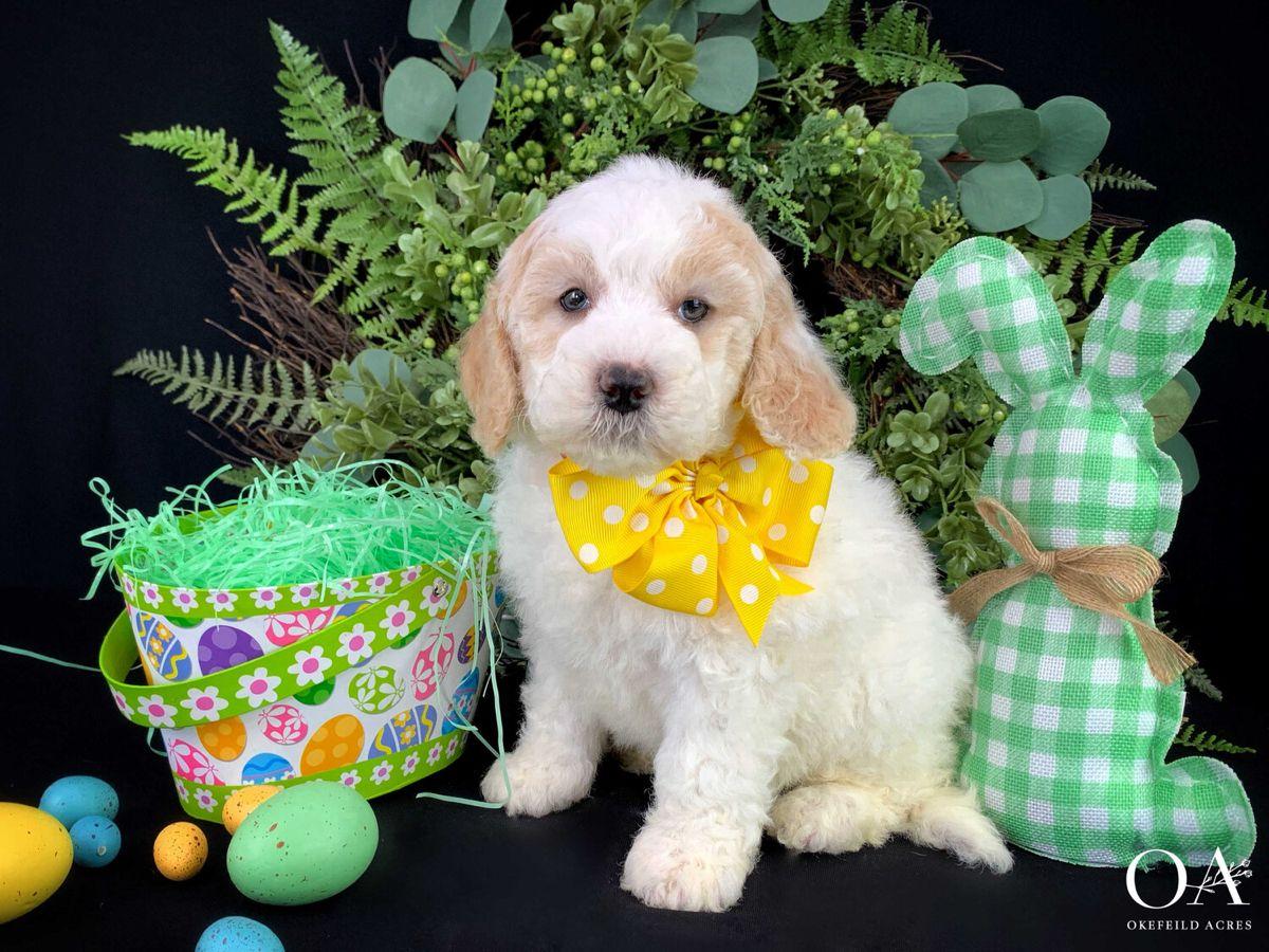 Pin On Okefeild Acres Mini Goldendoodle Puppies