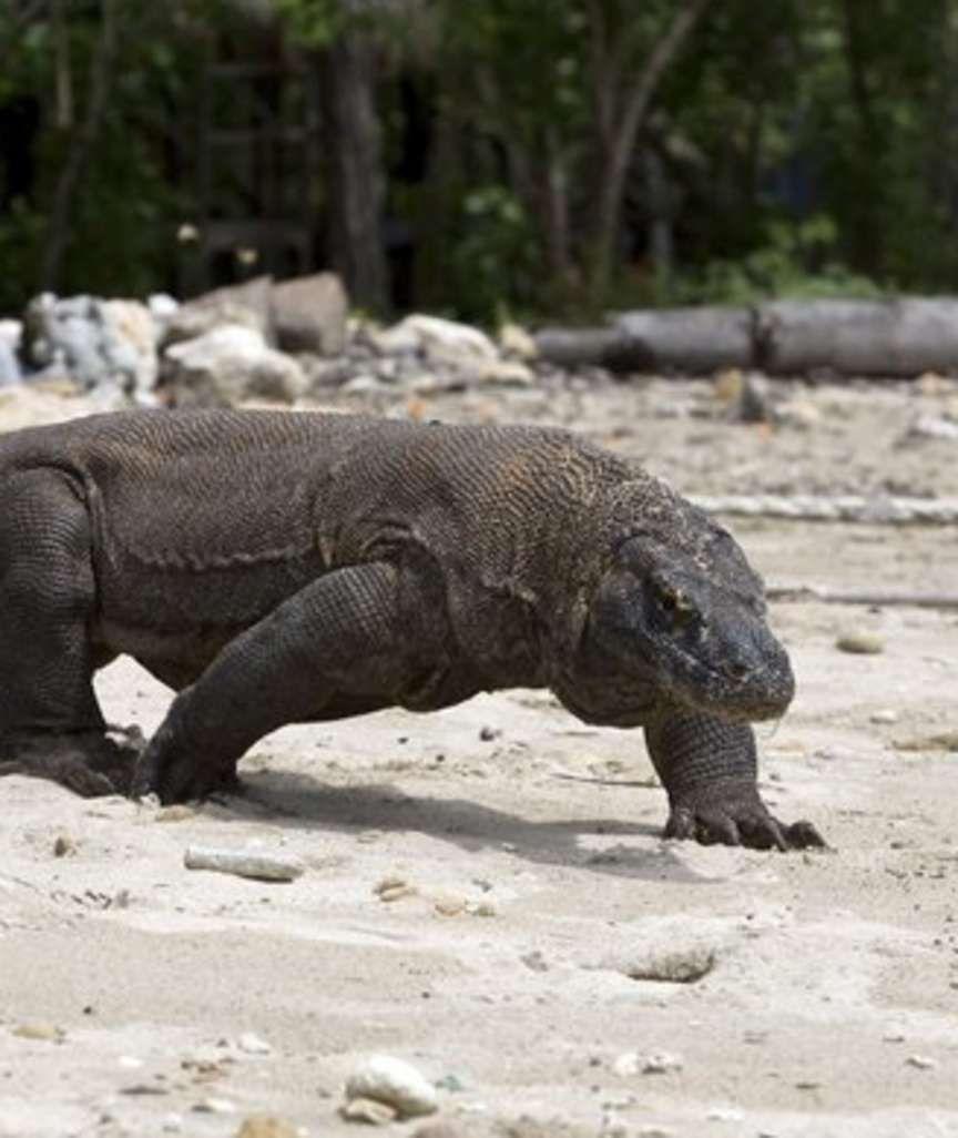 Riesen Leguan