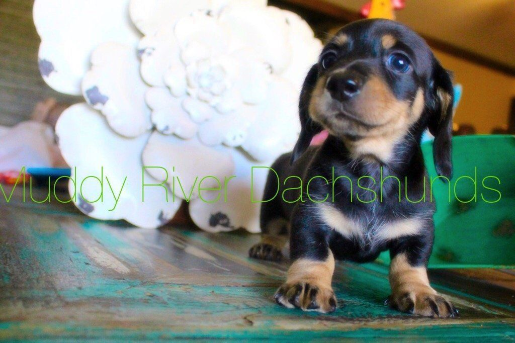 Mini Dachshund Puppies For Sale In Texas Muddy River Dachshunds Dachshund Puppy Miniature Dachshund Puppies For Sale Daschund Puppies