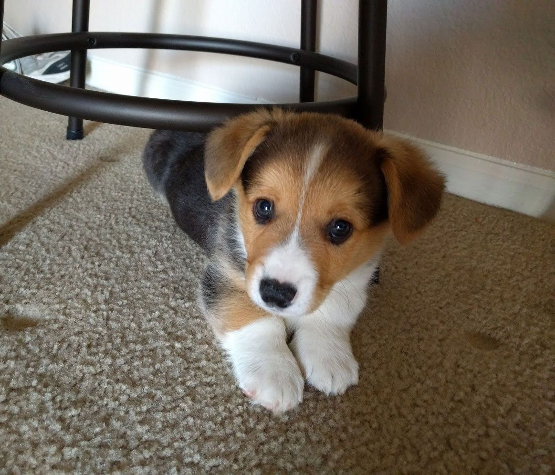 That S The Smallest Bundle Of Cute Beagle Corgi Mix Puppy Corgi
