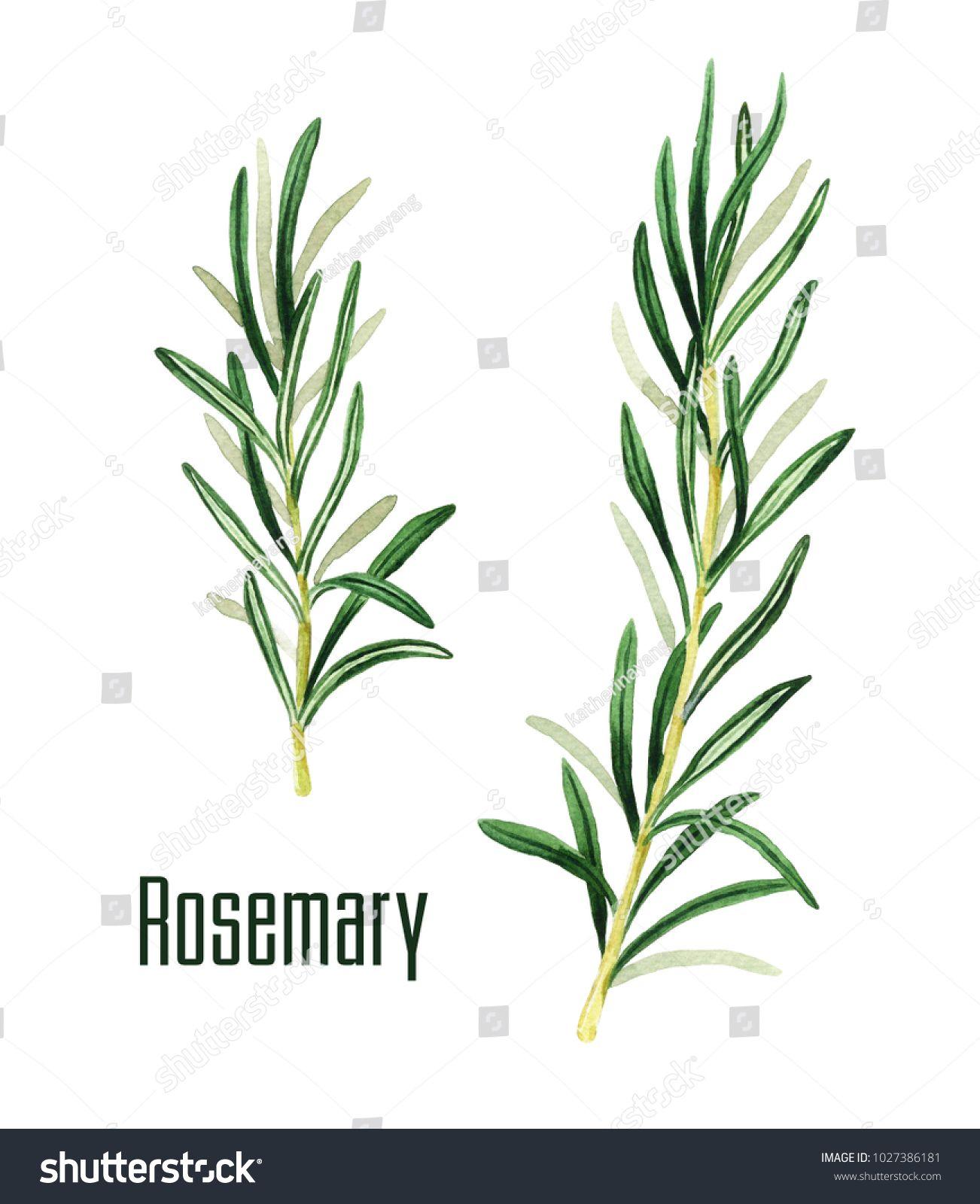 Rosemary Watercolor Branch Hand Drawn Illustration