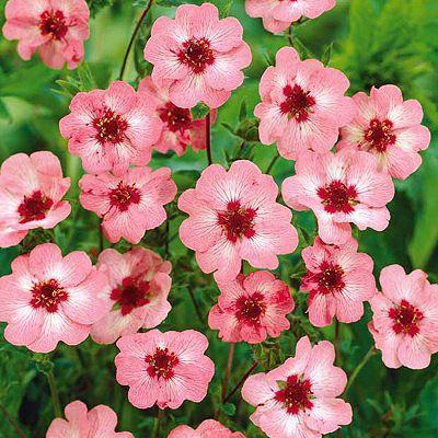 Potentilles vivaces plantes tr s d coratives offrant de for Prix plantes vivaces