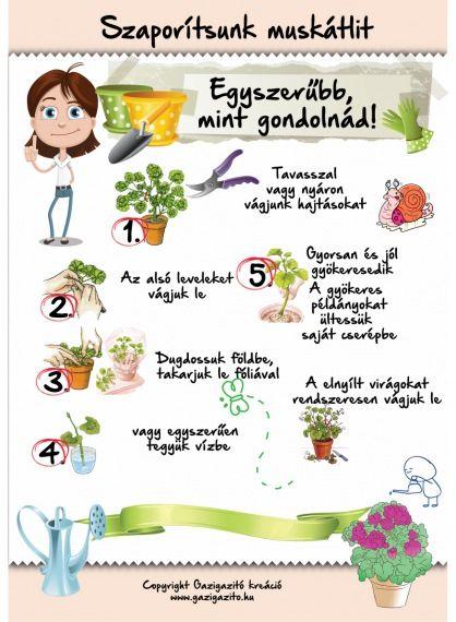 Pelargonium - Muskátli - gazigazito.hu