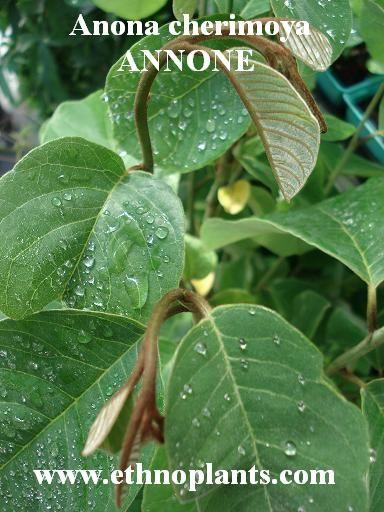 Graines Rose Apple RARE Fruit Maison Jardin Planter Bonsai naturelles de la CHINE NEUF 20 PCS