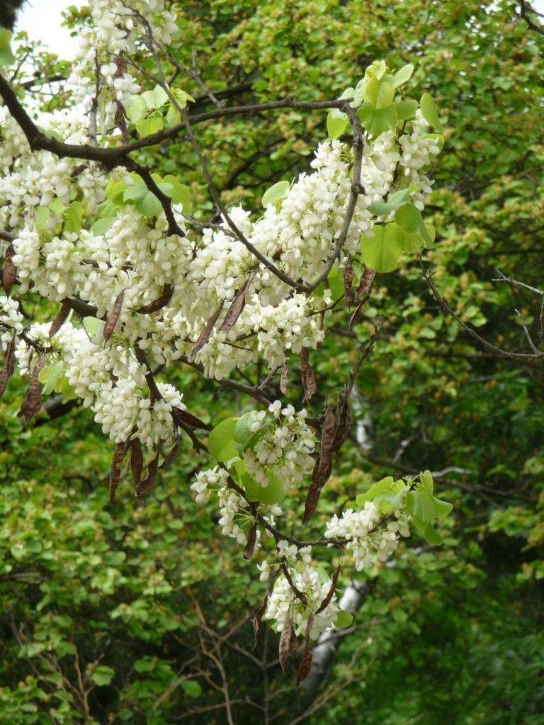 arbre de jud e vari t fleurs blanches id es d 39 arbres d 39 ombrage pinterest arbre de. Black Bedroom Furniture Sets. Home Design Ideas