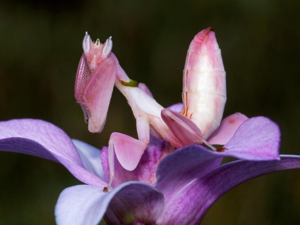 Orchid Mantis The Super Power Of This Stealthy Insect Interesting