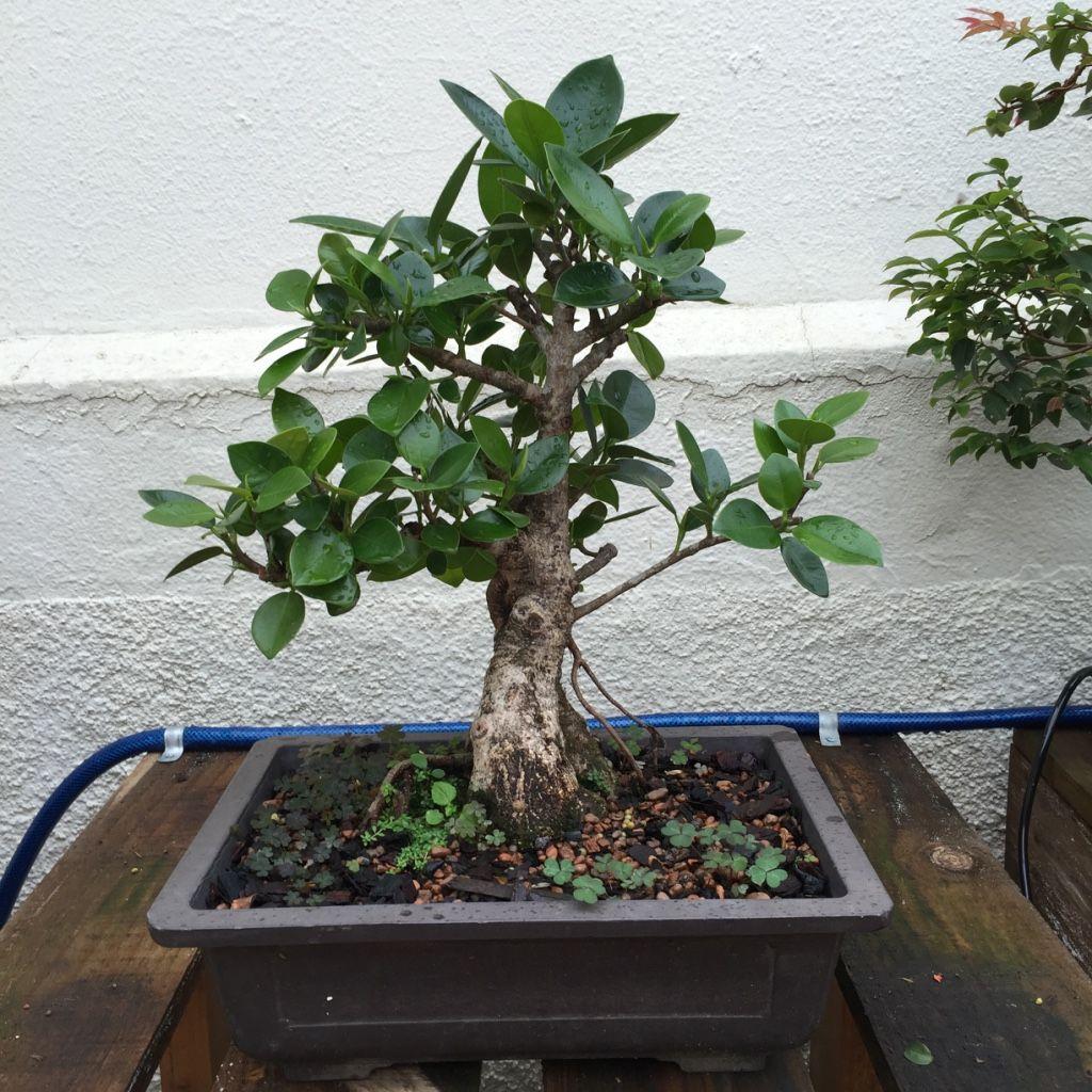 Pre Bonsai Ficus Panda Em Treinamento Adquirido Na Chacara Kajihara Bonsai Ficus Pre Bonsai Bonsai