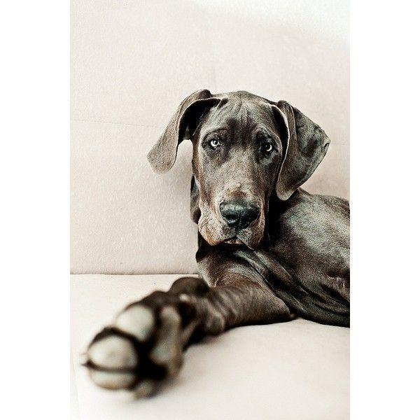 Great Dane Puppies for sale Kakamega Kenya