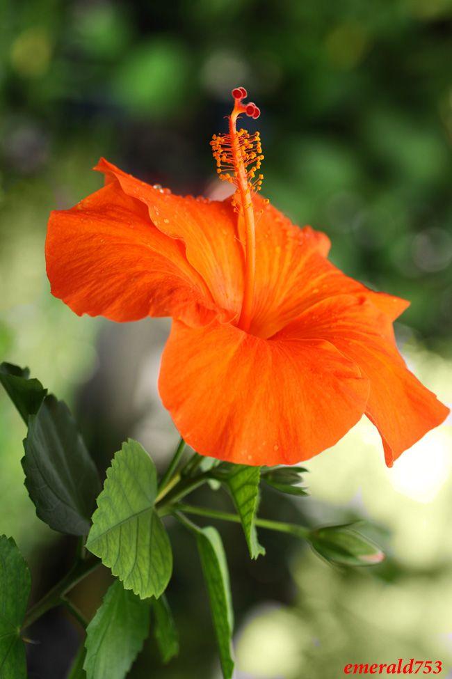 Orange Hibiscus By Theresahelmer On Deviantart Hibiscus Hibiscus Flowers Flower Garden