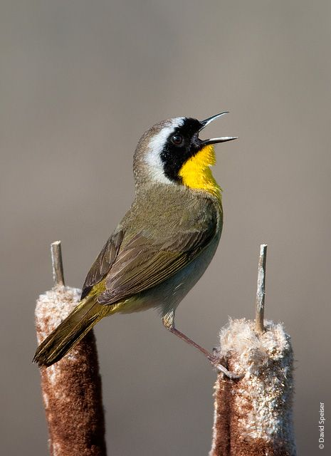 Common Yellowthroat World Birds Birds Of Georgia Beautiful Birds