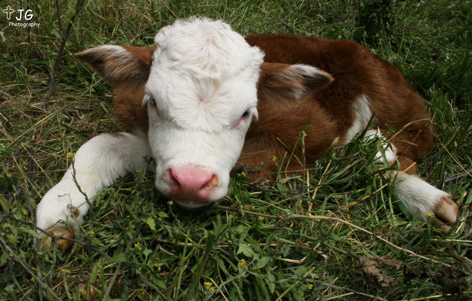 Polled Hereford Calf