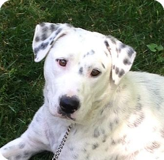 Albany Ny Dalmatian Labrador Retriever Mix Meet April A Dog