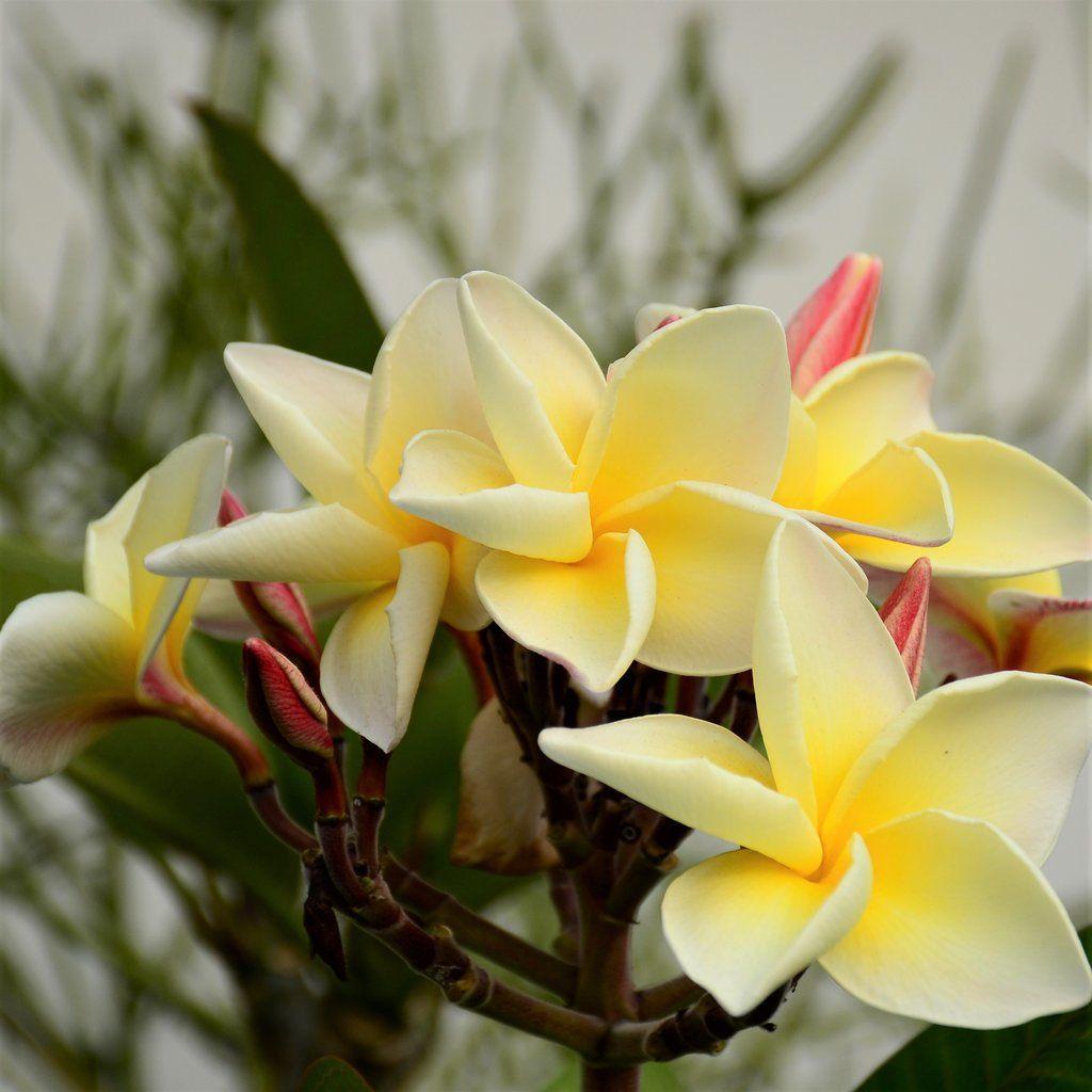 Piante Da Appartamento La Plumeria.Plumeria Plant Yellow Rainbow Potted Piante
