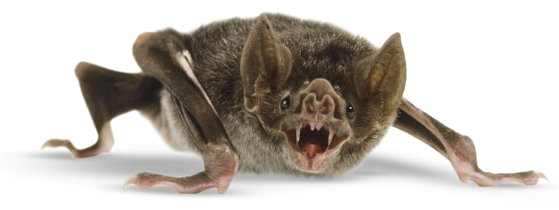 Image result for Common Vampire Bat
