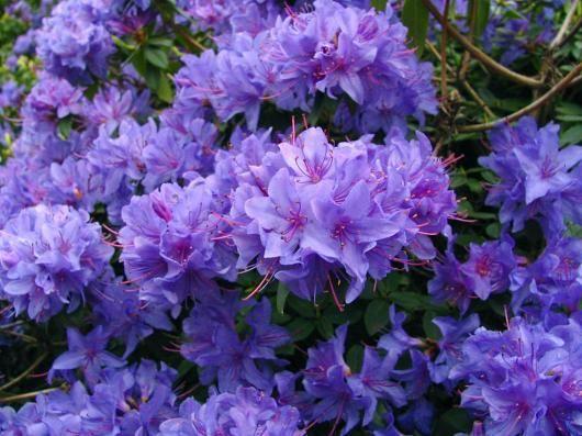 Purple Azalea Azalea Flower Azaleas Landscaping Dream Garden Flowers