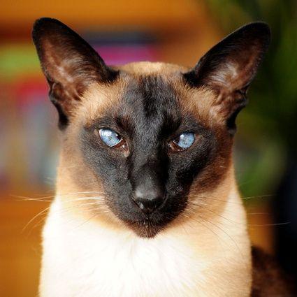 My Sweet Cross Eyed Siamese Bert Siamese Cats Oriental Shorthair Cats Siamese Kittens
