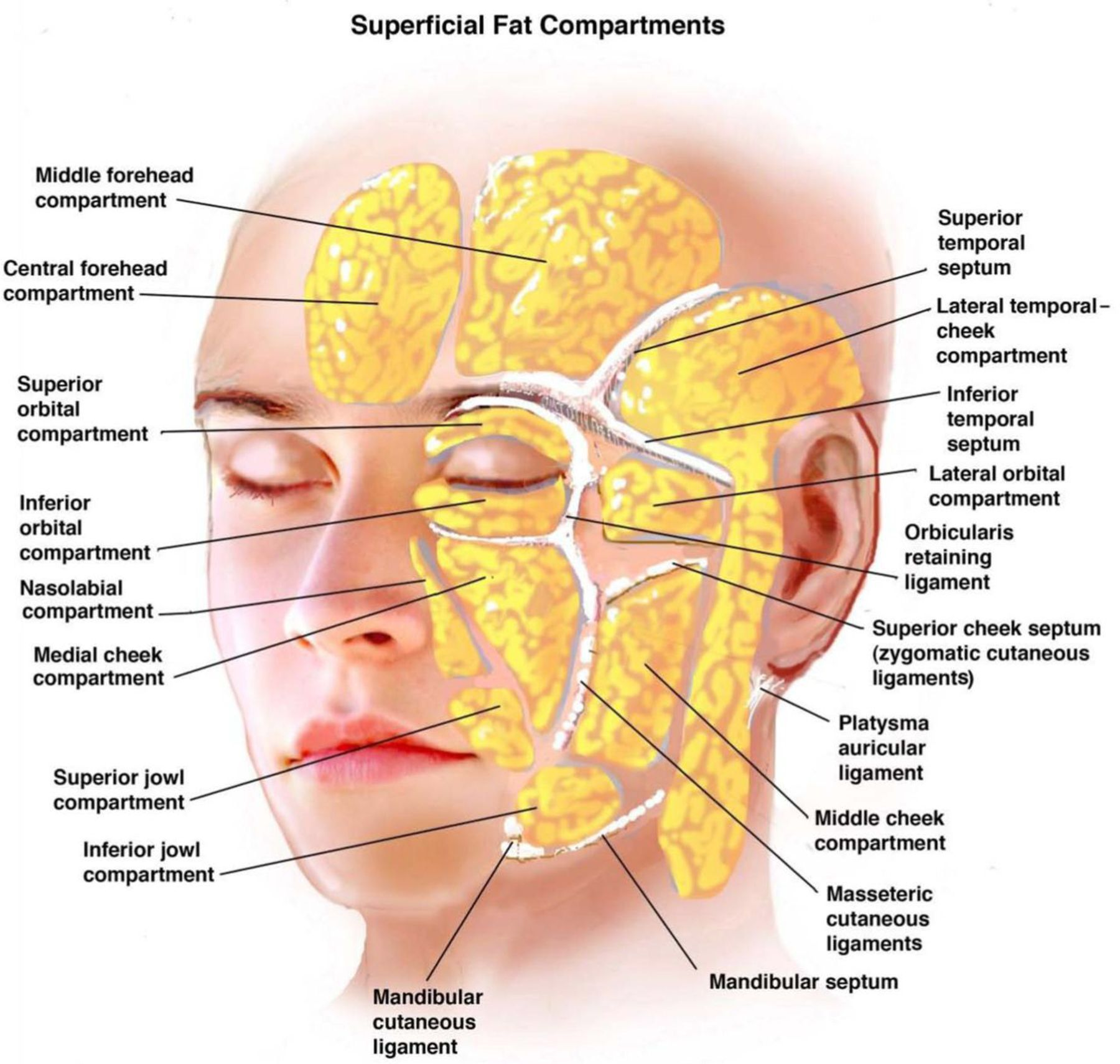 Ligaments of the face | Facial Anatomy | Pinterest | Face, Face ...