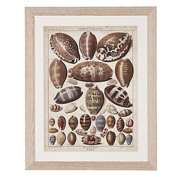 """The shells are reproduced from antique engravings by Dezallier d'Argenville from """"La Conchyliologie,"""" published in 1780. Cowrie Shells 1, $139.95"""