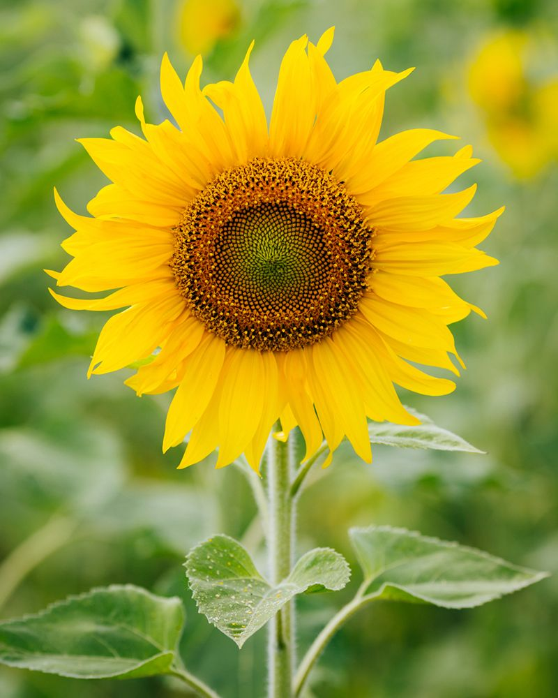 History And Meaning Of Sunflowers Proflowers Blog Sunflower Images Meaning Of Sunflower Sunflower Photo